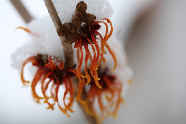 witch hazel in winter